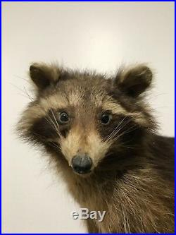 Taxidermy Raccoon Antique German (PRE 1947)